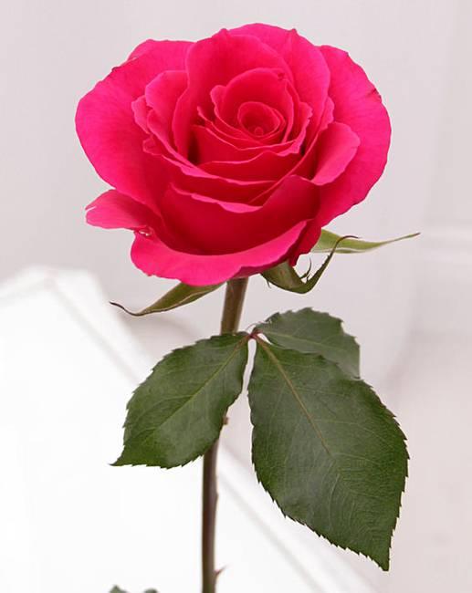 single pink rose j d williams