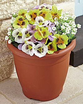 Everlasting Pansy Planter