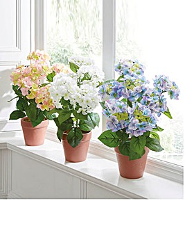 Hydrangea in Terracotta Effect Pot