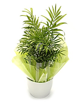 Parlour Palm Ceramic Pot Plant