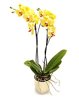 Phalaenopsis Orchid Twin Spike Pot Plant