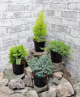 Conifers for Patio Containers