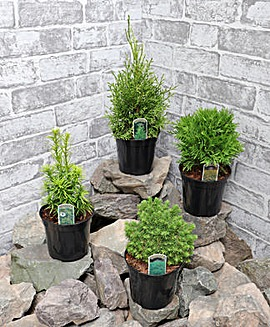 Conifers for Patio Pots