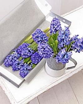 Letter Box Hyacinth
