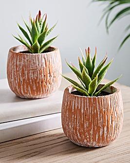 Set of 2 Aloe Vera in a Pot
