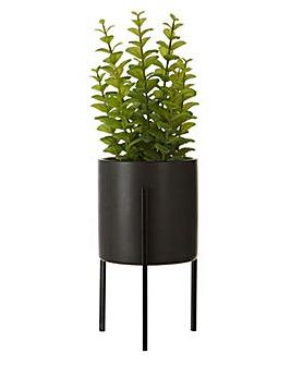 Fiori Thyme in a Pot