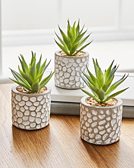 Set Of Three Ornamental Succulents