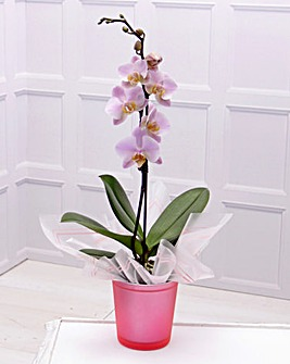 Single Spike Orchid and Vase